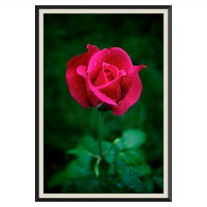 Fotografie cu trandafiri
