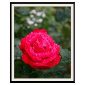 Fotografie cu trandafiri rosii
